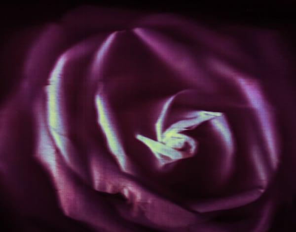 rose study II