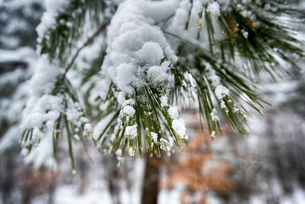 Wintry Snow Pine Needles
