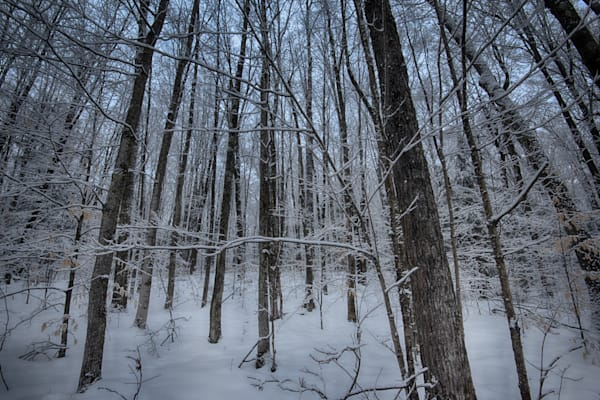 Snow Kissed Forest