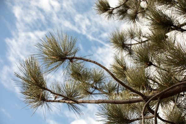 Coulter Pine Branch Photography Art | Sydney Croasmun Photography