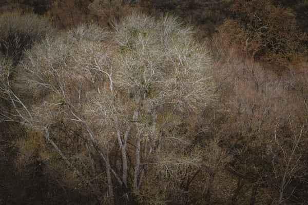 Cottonwood Glow - winter trees in Arizona photograph print