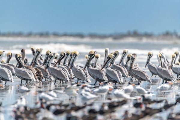 Pelican Colony Photography Art | kramkranphoto
