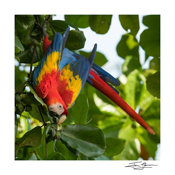 Photograph of a scarlet macaw to add color to your home.