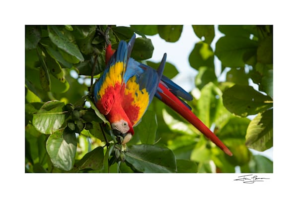 Macaw Breakfast Photography Art | Tim Laman