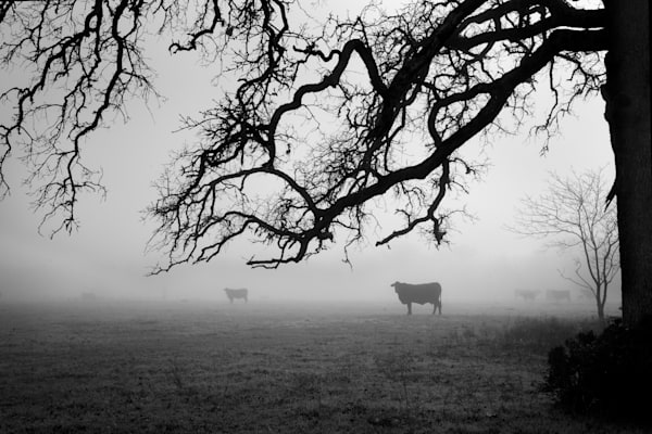 Cows In The Fog, Snook, Texas Photography Art | Rick Gardner Photography