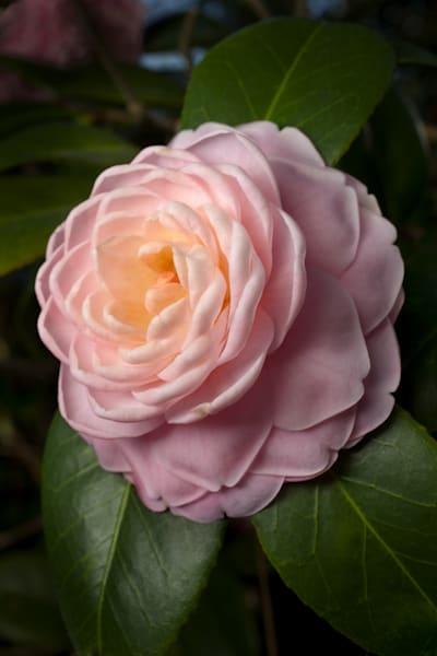 """Pink Perfection"" Camellia Photography Art | Rick Gardner Photography"
