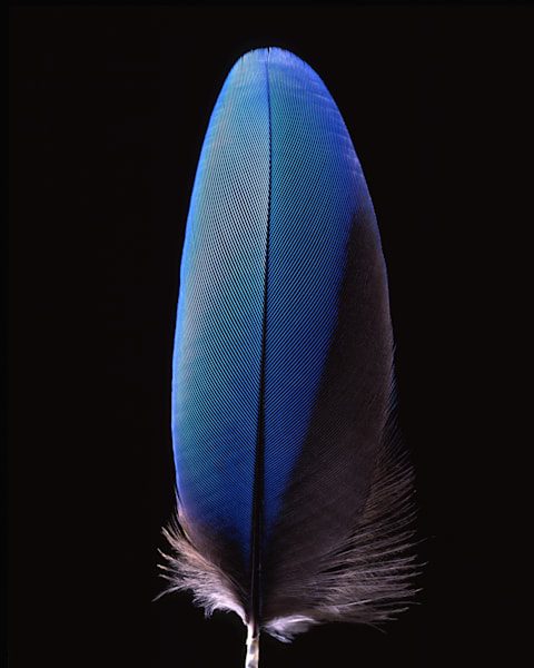 Blue Feather 2003 Photography Art | Rick Gardner Photography