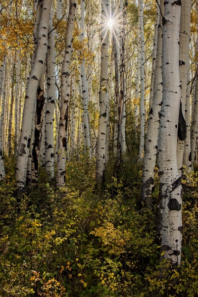 Sunburst Aspen Photography Art | Ken Smith Gallery