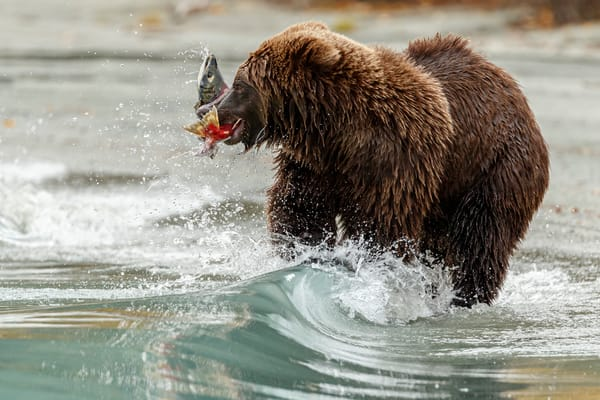 Alaskan Brown (Grizzly) Bear feeds on Sockeye Salmon  on Crescent Lake in Lake Clark National Park.  Fall - Autumn.  Alaska  Photo by Jeff Schultz/  (C) 2019  ALL RIGHTS RESERVED  Bears Moose Fall Color 2019 photo tour