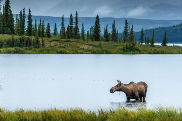 Cow moose feeds in Wonder Lake during rain in Denali National Park, Alaska  Summer  Photo by Jeff Schultz/SchultzPhoto.com  (C) 2018  ALL RIGHTS RESERVED  Amazing Views-- Into the wild photo tour 2018