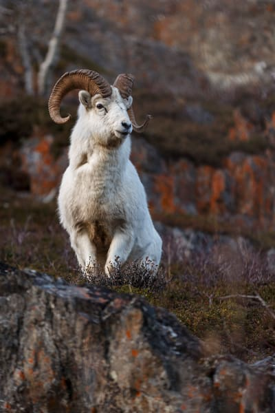 Dall sheep ram on the rock face of the Chugach Mountains in Chugach State Park. Windy Corner area.     Photo by Jeff Schultz/SchultzPhoto.com  (C) 2016  ALL RIGHTS RESVERVED