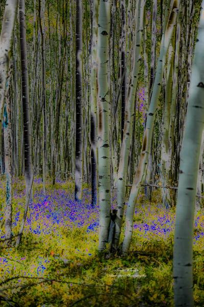 Aspen And Blue Photography Art | Silver Spirit Photography