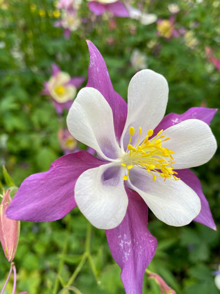 Columbines In July Photography Art | Visionary Adventures, LLC