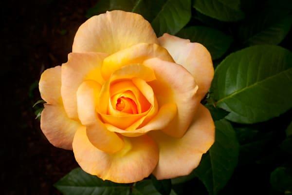 Yellow Rose Photography Art   Rick Gardner Photography
