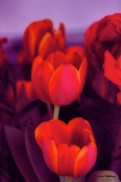 buyartonline, photographicprints, jackierobbinsstudio, spirit, perfection, calm, radiate, light, ultraviolet, tulips