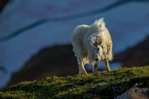 Mountain goats, Beartooth Plateau, Wyoming.