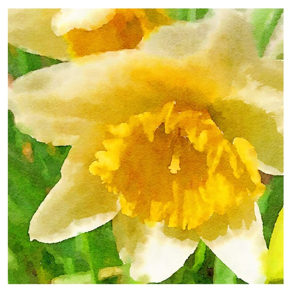 daffodil-love, daffodils, watercolor-photo, spring-flower, yellow-flower