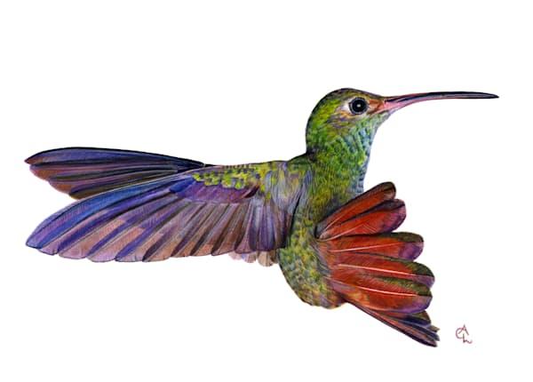 "Rufous Tailed Hummingbird   ""Alane's Hummingbird"" Art | Gossamer Lane Fine Art"