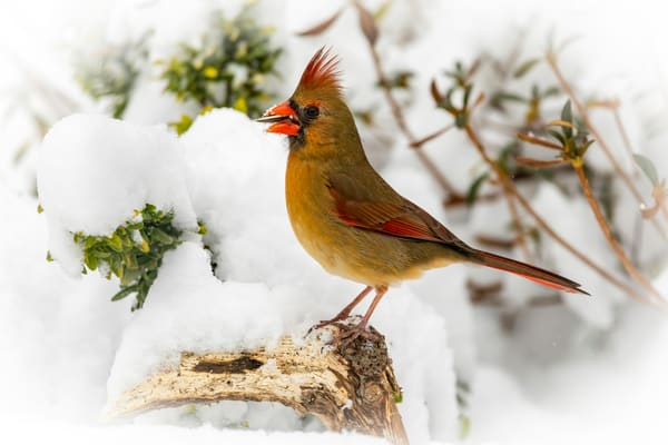 Female Cardinal in Snow with Nut