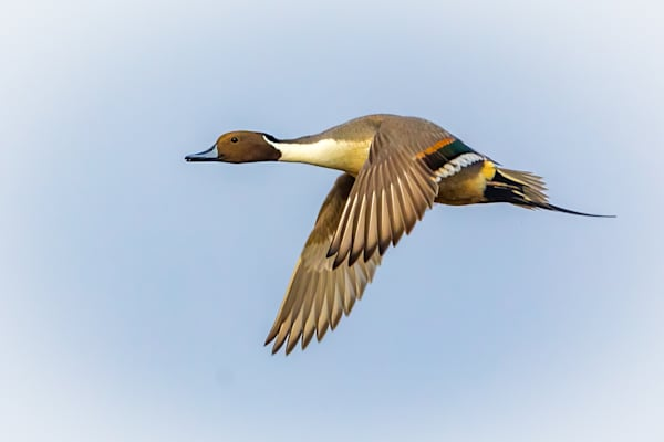 Male Northern Pintail in Flight against Blue Sky
