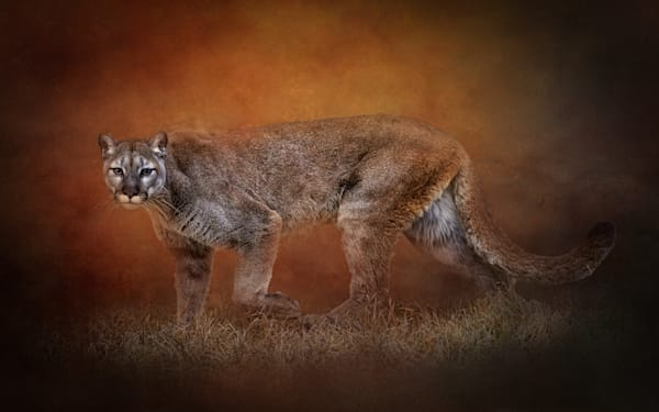 Mountain Lion on Textured Background