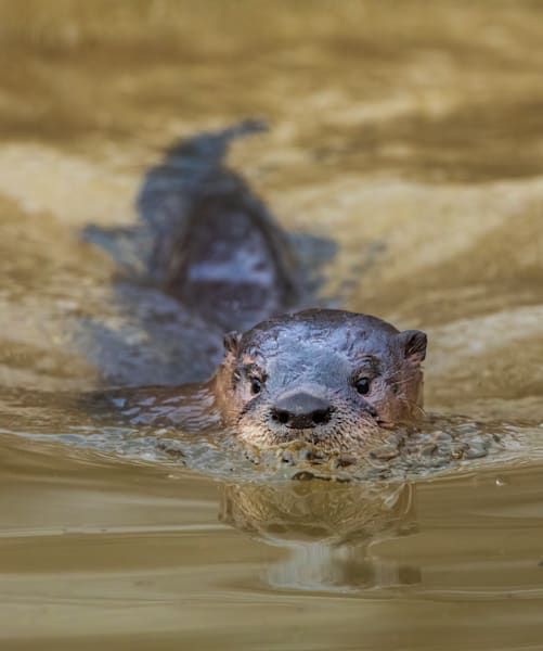 River Otter Swimming at Golden Hour