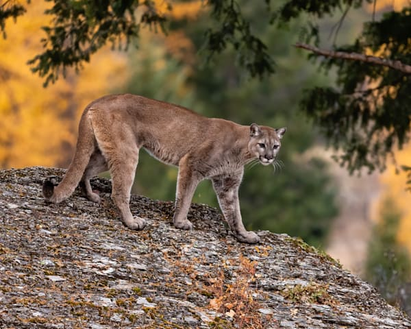 Mountain Lion on large boulder with fall background