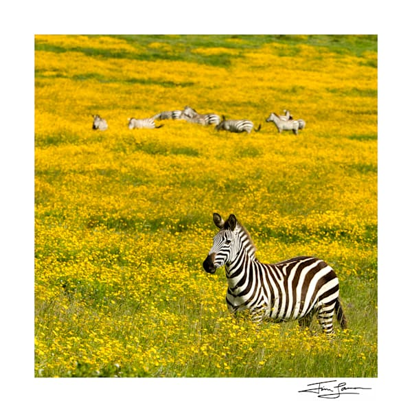 Zebra in a field of yellow flowers.