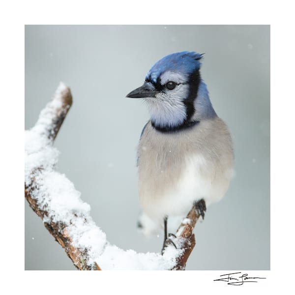 Blue Jay   Snowy Day Portrait Photography Art | Tim Laman