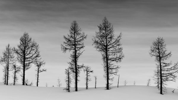 Tom Weager Photography - Larches in Winter