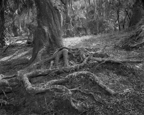 Tree Roots, Ossabaw Island, Georgia Photography Art | Rick Gardner Photography