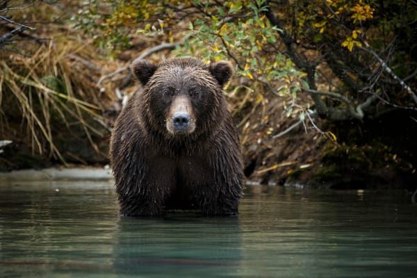 Grizzly bear portrait standing in Crescent Lake in Lake Clark National Park  Alaska Photo by Jeff Schultz/SchultzPhoto.com  (C) 2016  ALL RIGHTS RESVERVED