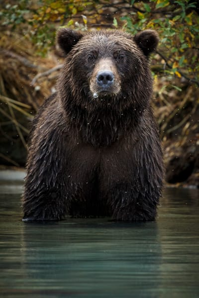 Grizzly bear portrait standing in Crescent Lake in Lake Clark National Park   Photo by Jeff Schultz/SchultzPhoto.com  (C) 2016  ALL RIGHTS RESVERVED