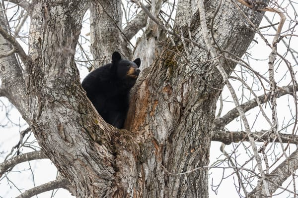 A black bear sow sits high in a cottonwood tree at its den in the Anchorage area of southcentral  Alaska   spring   Photo by Jeff Schultz (C) 2016  ALL RIGHTS RESERVED