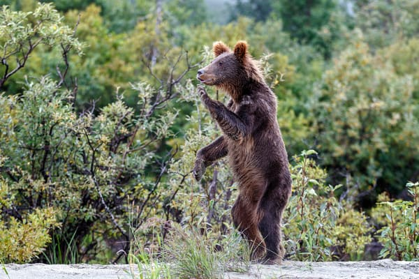 Alaska Brown Bear cub stands on hind legs and waves with paw. Lake Clark National Park, Alaska  Photo by Jeff Schultz/SchultzPhoto.com  (C) 2016  ALL RIGHTS RESVERVED. David Young