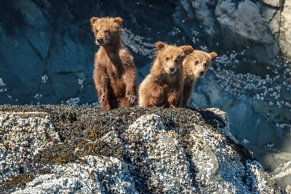 Three grizzly bear cubs on rocks on the shore of  Kukak  Bay of Katmai Coast in Katmai National Park, Alaska.   Photo by Jeff Schultz/SchultzPhoto.com  (C) 2018  ALL RIGHTS RESERVED