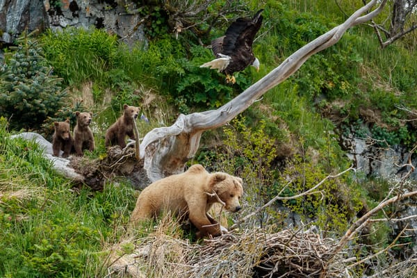 A grizzly bear sow and cubs invade a bald eagle nest on a cliff in Kukak Bay of the Katmai Coast in Katmai National Park, Alaska.  Summer.  June 2018  Photo by Jeff Schultz/SchultzPhoto.com  (C) 2018  ALL RIGHTS RESERVED