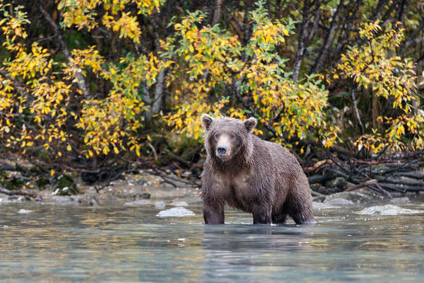 Coastal Grizzly bear at Crescent Lake in Lake Clark National Park.  Fall/Autumn   Photo by Jeff Schultz/SchultzPhoto.com  (C) 2017  ALL RIGHTS RESERVED