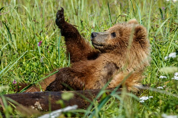 Brown Bear cub sits on his back with paw in air in grass  in Lake Clark National Park. Photo by Jeff Schultz (C)   ALL RIGHTS RESERVED