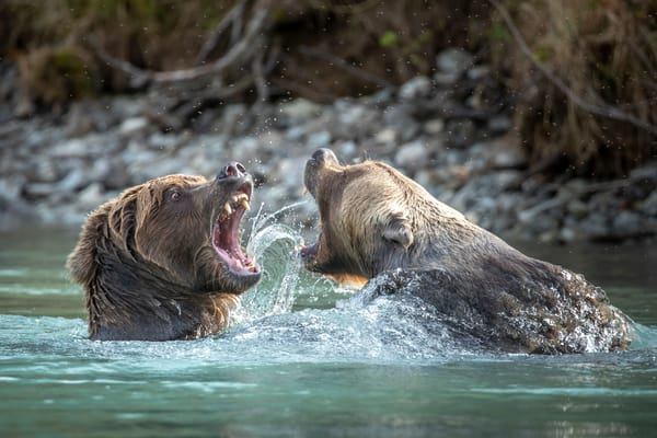 Two brown bears fight over salmon at Crescent Lake. Lake Clark National Park. Fall/autumn  Southcentral, Alaska  Photo by Jeff Schultz/SchultzPhoto.com  (C) 2018  ALL RIGHTS RESERVED