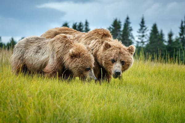 Alaska coastal brown (grizzly) bears mother and cub graze on sedge grass.  Lake Clark National Park Alaska.  Summer.   Photo by Jeff Schultz/SchultzPhoto.com  (C) 2018  ALL RIGHTS RESERVED