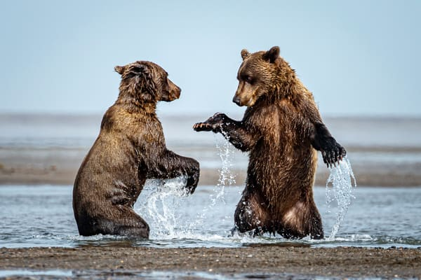 Young Coastal Brown bears play-fight in water on coast in Lake Clark National Park.  Summer, Southwest, Alaska  Photo by Jeff Schultz/  (C) 2019  ALL RIGHTS RESERVED