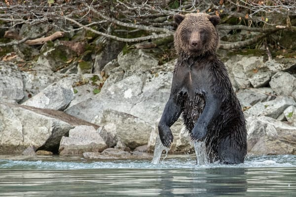 Brown bear dripping with water and dry head in Crescent Lake in Lake Clark National Park, Alaska  Photo by Jeff Schultz/SchultzPhoto.com  (C) 2018  ALL RIGHTS RESERVED