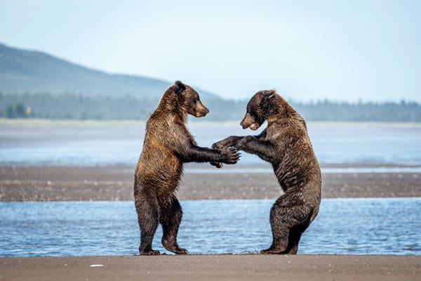 Coastal Brown bear juveniles play fight on beach coast in Lake Clark National Park.  Summer, Southwest, Alaska  Photo by Jeff Schultz/  (C) 2019  ALL RIGHTS RESERVED