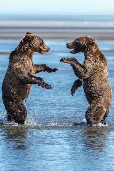 Coastal Brown bear juveniles play fight in water of Silver Salmon Creek on coast in Lake Clark National Park.  Summer, Southwest, Alaska  Photo by Jeff Schultz/  (C) 2019  ALL RIGHTS RESERVED