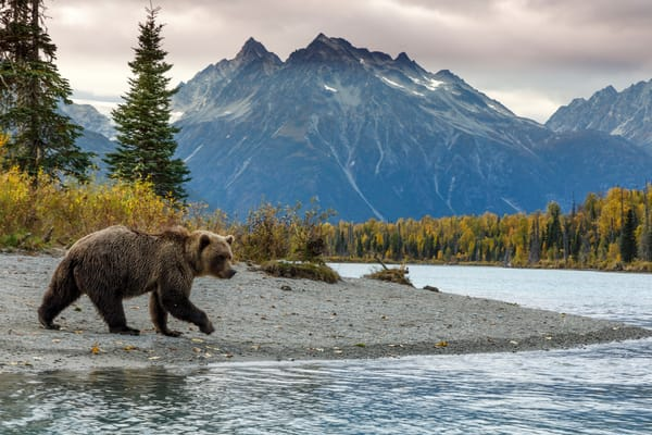 Fall landscape of Alaska Brown bear on Crescent Lake with Chigmit Mountains and glacier in background in Lake Clark National Park, Alaska   Fall  Photo by Jeff Schultz/SchultzPhoto.com  (C) 2018  ALL RIGHTS RESERVED