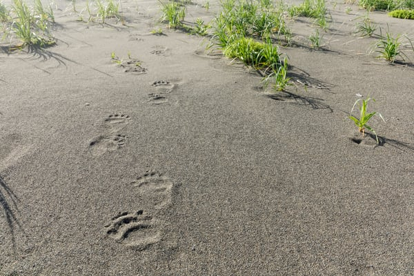 Brown paw prints in sand along the Lake Clark National Park coastline. Alaska.  Summer. Photo by Jeff Schultz (C)   ALL RIGHTS RESERVED  Photo by Jeff Schultz/SchultzPhoto.com  (C) 2018  ALL RIGHTS RESERVED Amazing Views-- Into the wild photo tou