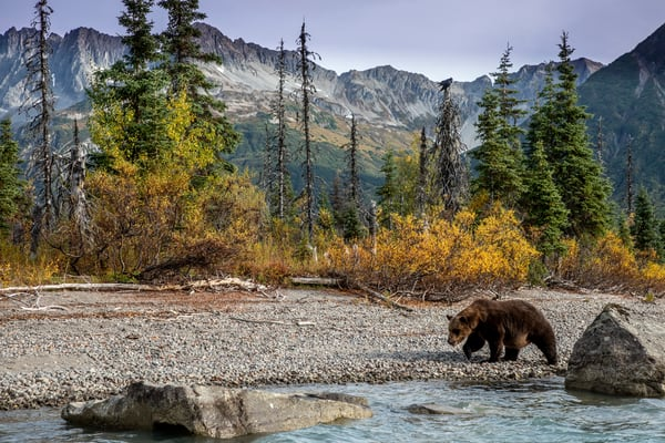 Brown  bear at Crescent Lake. Lake Clark National Park. Fall/autumn  Southcentral, Alaska  Photo by Jeff Schultz/SchultzPhoto.com  (C) 2018  ALL RIGHTS RESERVED