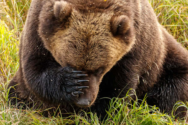Alaskan Brown (Grizzly) Bear scratchig snout/nose on Crescent River in Lake Clark National Park.  Fall - Autumn.  Alaska  Photo by Jeff Schultz/  (C) 2019  ALL RIGHTS RESERVED  Bears Glaciers Fall Color 2019 photo tour