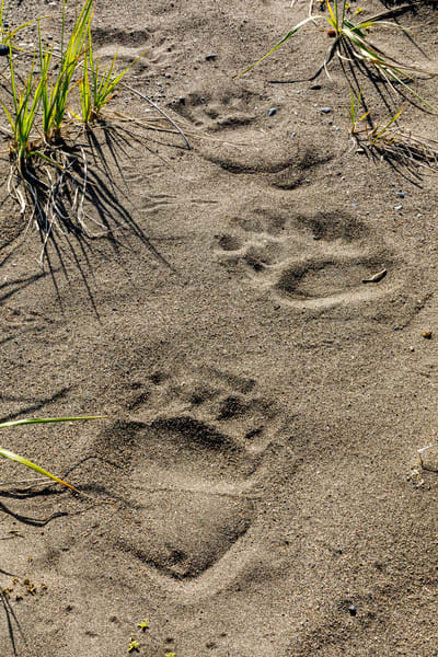 Coastal Brown bear tracks in sand on beach coast in Lake Clark National Park.  Summer, Southwest, Alaska  Photo by Jeff Schultz/  (C) 2019  ALL RIGHTS RESERVED